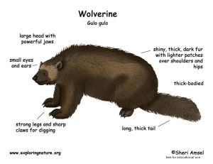 wolverine_diagram